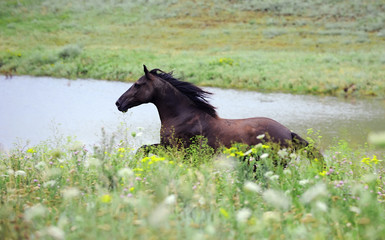 black wild horse running gallop on the field