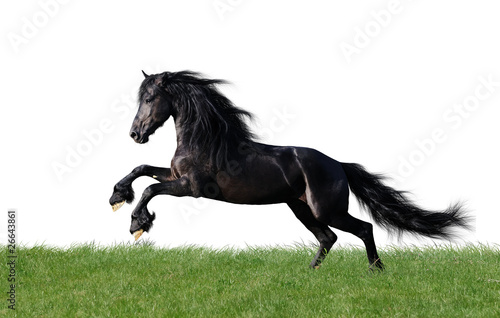 isolated friesian horse playing on the grass