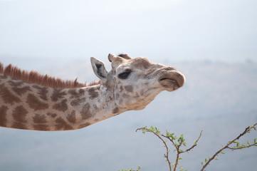 Snooty Giraffe