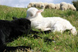 White and black sleeping lambs.
