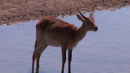 An African Impala in the Wild