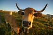 Animal ferme vache 43