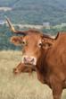Animal ferme vache 42