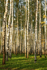 Birch Grove In Autumn in sunset