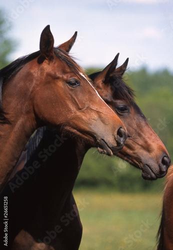 deux têtes de cheval de selle français de profil
