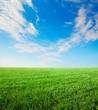 Field of grass and blue  sky  with white cloud