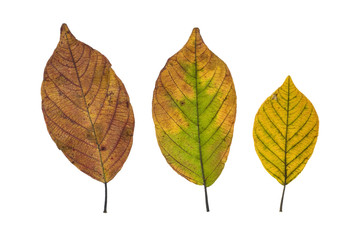 Three autumn leaves isolated on white