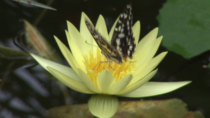 Black butterfly coming on a yellow flower