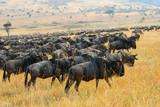 Great migration of antelopes wildebeest, Kenya poster