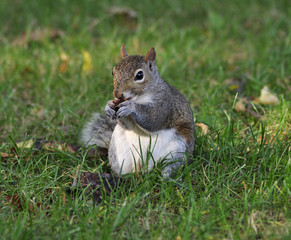 grey squirrel eating a nut
