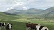 Footage of a beautiful landscape with cows in the foreground