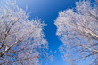 White frozen trees and blue sky