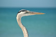 Close-up Profile of a Great Blue Heron at the Ocean