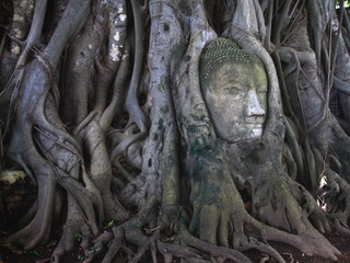 remains of stone budda head in the tree roots