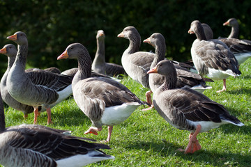 A Gaggle of Grey-Lag Geese