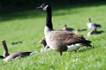 Look out Canadian Goose