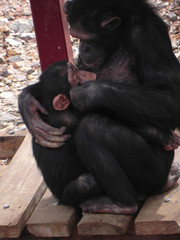 Nursing chimpanzee