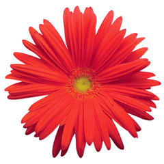 Red Gerber Daisy Isolated Macro Closeup