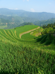 Rizières du Guangxi