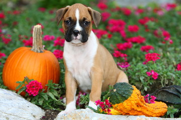 Boxer Sitting in Flowerbed with Pumpkin