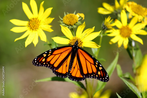 Tuinposter Vlinder Monarch Butterfly (danaus plexippus) on Woodland Sunflowers