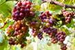 Quadro Vineyard