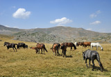 Horses from the mountain from Macedonia