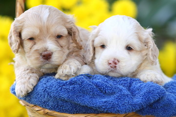 Two Cockapoo's Sitting in Basket