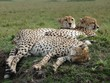 berühmt, berüchtigtes Geparden-Trio ruht sich aus