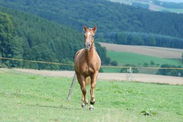 Quarter Horse Pepps Silver Kim