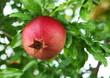 Ripe pomegranate on the branch.
