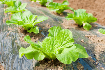 成長途中の白菜