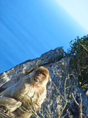 Monkey and sea  Gibraltor