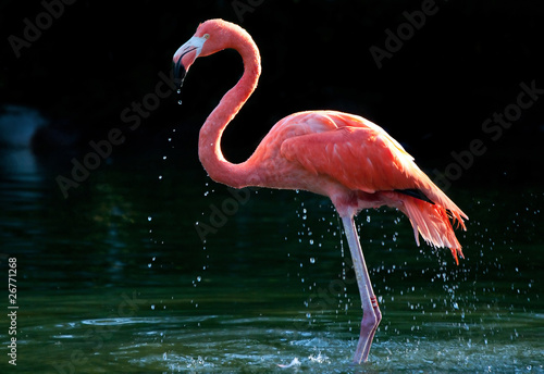 Foto op Aluminium Flamingo flamingo in the water