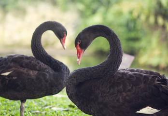 Lovely black swans