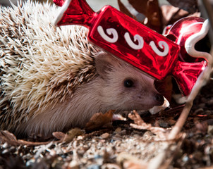 Hedgehog hiding behind Christmas decoration