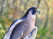 Peregrine Falcon close up