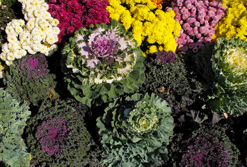 Ornamenetal Kale with Chrysanthemums
