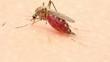mosquito, close up, sucks blood