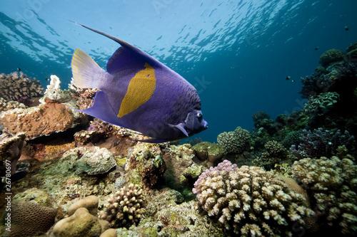 yellowbar angelfish and ocean