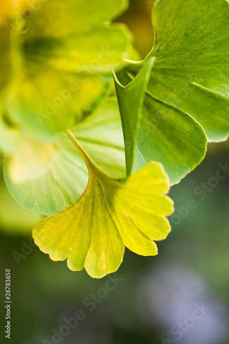 Ginkgo © fotoali