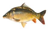 Common carp.Cyprinus carpio. Isolated on white