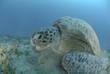Green sea turtle feeding on seagrass.