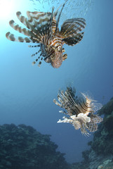 low angle view of two common lionfish.