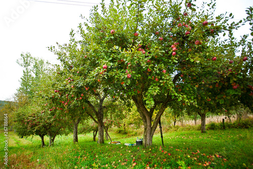 Apple trees orchard
