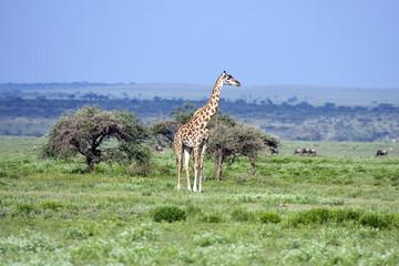 Panorama africano con giraffa
