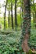 Wald und Efeu