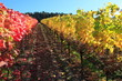 Indian summer, Weinberge, Weinlaub in Herbstverfärbung