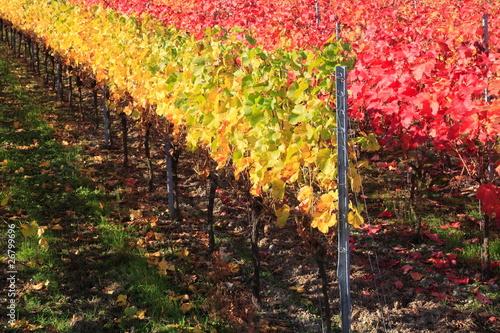 Indian summer, Weinberge, Weinlaub in Herbstverfärbung