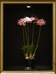Nerine Stephanie Flower